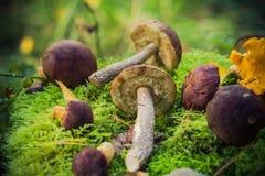 Les champignons comestibles ont empilé la forêt de mousse Photos libres de droits
