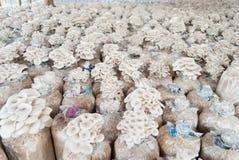 Les champignons d'huître se développent dans la ferme. Photo libre de droits