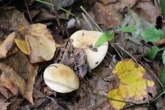 Les champignons dans des feuilles/Brown part sur des champignons Images libres de droits