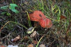 Les champignons dans la forêt Photo libre de droits