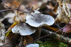 Les champignons dans une forêt s'élevant entre l'automne ont coloré des feuilles Photo stock
