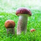 Les champignons de couche oranges de boletus de capuchon se développent de l'herbe Photos stock