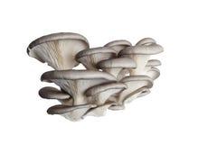 Les champignons de couche se ferment vers le haut de d'isolement Photo libre de droits