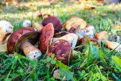 Les champignons de Porcini sont blancs avec les feuilles jaunes sur l'herbe verte Photo libre de droits