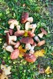 Les champignons de Porcini sont blancs avec les feuilles jaunes sur l'herbe verte Photo stock