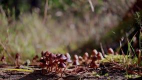 Les champignons, champignons, champignons s'élevant sur la branche de pin en tant que petites araignées marche au-dessus de elles clips vidéos