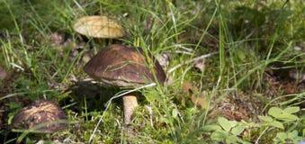 Les champignons savoureux et sains se d?veloppent photos libres de droits