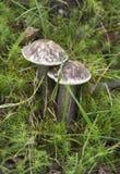 Les champignons savoureux et sains se d?veloppent image libre de droits