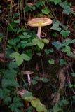 Les champignons toxiques, pilotent l'agaric dans la forêt dans un endroit pittoresque images stock