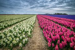 Les champs de jacinthe image libre de droits