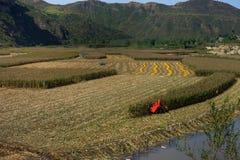Les champs de maïs obtiennent dans les cultures Images stock