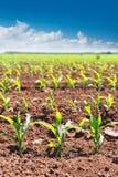 Les champs de maïs pousse dans les rangées dans l'agriculture de la Californie images stock