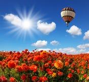 Les champs des renoncules rouges de jardin Images libres de droits