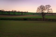 Les champs nouvellement plantés commencent à voir le maïs se développer au coucher du soleil Images libres de droits