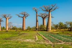 Les champs s'approchent de l'avenue de baobabs images stock