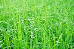 Les champs verts avec le matin mouillent sur l'herbe images stock
