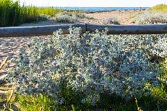 Les chardons plantent sur la plage Photos stock