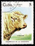 Les charolais (Taureau de primigenius de Bos) effrayent, vers 1984 Photo stock
