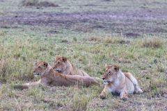 Les chasseurs se reposent lionne dans la savane Le Kenya, Afrique photo stock