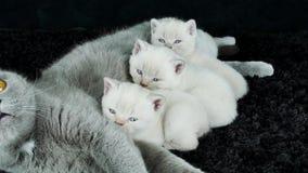 Les chatons allaitent de la mère, race des Anglais Shorthair banque de vidéos