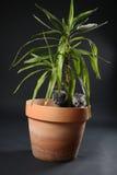 Les chatons des Anglais Shorthair dans un yucca plantent le pot Photographie stock
