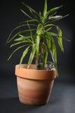 Les chatons des Anglais Shorthair dans un yucca plantent le pot Image libre de droits