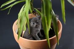 Les chatons des Anglais Shorthair dans un yucca plantent le pot Image stock