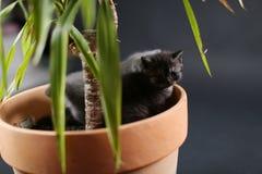 Les chatons des Anglais Shorthair dans un yucca plantent le pot Photos stock