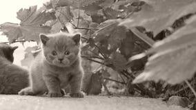 Les chatons des Anglais Shorthair miaulent dans le jardin banque de vidéos