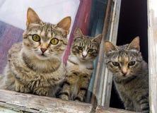 Les chatons gris curieux se reposent sur la fenêtre et regardent la rue Photographie stock libre de droits