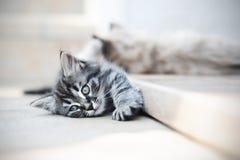 Les chatons sont drôles Image libre de droits