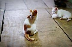 Les chats blancs et jaunes se trouvent sur le plancher de la maison photos stock