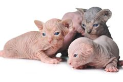 Les chats chauves mignons de chéri se ferment vers le haut Photographie stock libre de droits