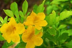 Les chats jaunes griffent la plante grimpante photos stock