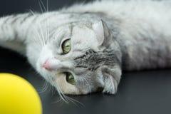 Les chats mignons jouent les boules jaunes Images stock