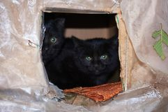 Les chats noirs de rue se cachent dans un fait maison brouillé Photos libres de droits