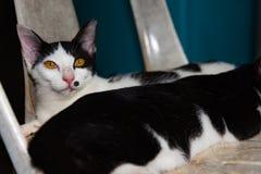 Les chats noirs et blancs dormant sur des chats de chaise se ferment, sélectif Photos libres de droits