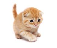 les chats plient des écossais image libre de droits