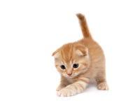les chats plient des écossais images libres de droits