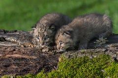 Les chats sauvages de bébé (rufus de Lynx) regardent vers le bas du rondin Images libres de droits