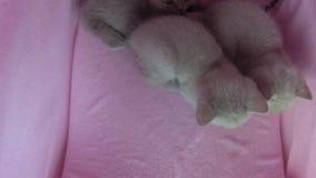 Les chats se reposent dans une tente d'animal familier banque de vidéos