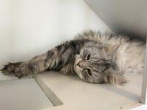 Les chats se trouvent sur le plancher heureusement photo stock