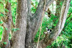 Les chats siamois grimpent à des arbres pour attraper des écureuils Mais il ne peut pas s'élever vers le bas photo stock
