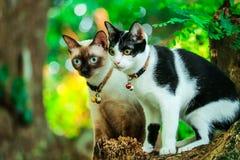 Les chats siamois grimpent à des arbres pour attraper des écureuils Mais il ne peut pas s'élever vers le bas photographie stock libre de droits