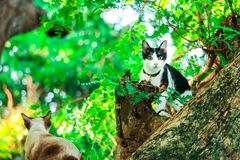 Les chats siamois grimpent à des arbres pour attraper des écureuils Mais il ne peut pas s'élever vers le bas image stock