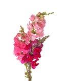 Les cheminées du shapdragon rose, rouge et pourpré fleurit Photographie stock
