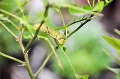 Les chenilles mangent des feuilles Photos stock