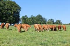 Les cheptels bovins du Limousin vivent en troupe avec un taureau et des vaches frôlant dans a au delà Images libres de droits