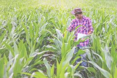 Les chercheurs masculins sont examinants et prenants des notes dans la graine de maïs image libre de droits