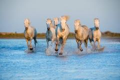 Les chevaux blancs de Camargue fonctionnant sur l'eau bleue dans le coucher du soleil s'allument Images libres de droits